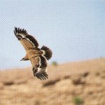 نسور عمان Size:96.50 Kb Dim: 500 x 411