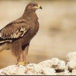 نسور عمان Size:56.60 Kb Dim: 600 x 391
