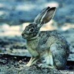 الأرنب البري Size:90.20 Kb Dim: 500 x 761