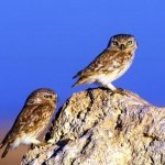 طيور البومه Size:31.20 Kb Dim: 450 x 326
