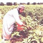 زراعة الباذنجان Size:187.00 Kb Dim: 544 x 375