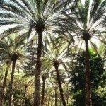 أشجار النخيل Size:108.40 Kb Dim: 500 x 509