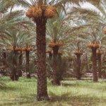 أشجار النخيل Size:52.40 Kb Dim: 500 x 321
