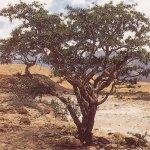 شجرة اللبان Size:83.30 Kb Dim: 500 x 421