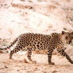 محمية النمر العربي - 7 Size:29.60 Kb Dim: 325 x 260