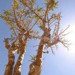 شجرة اللبان Size:47.70 Kb Dim: 320 x 480