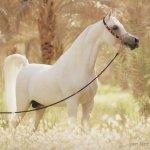 حصان Size:39.50 Kb Dim: 540 x 425