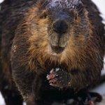 سنجاب الاسكا