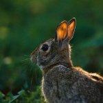 أرنب نط فوق الخط