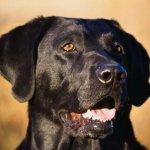 كلب أسود