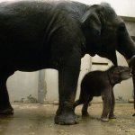 فيل وفيول