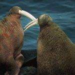 ثور البحر