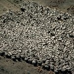 مئات من قطعان الماعز