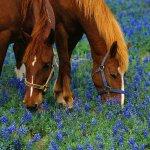 خيول وزهور