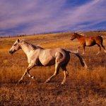 خيول ترعى
