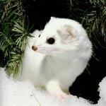 فأر الثلج