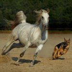 حصان حلو