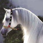 حصان ابيض