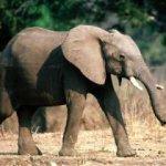 فيل Size:13.0 Kb Dim: 280 x 210