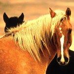 حصان Size:80.80 Kb Dim: 800 x 600