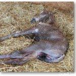شاهدو عملية ولادة الخيل بالتف3