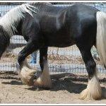 اغرب انواع لخيول14