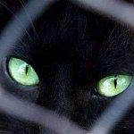 القطة السوداء1