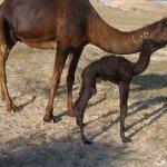 صور عملية ولادة ا لجمل10