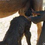 صور عملية ولادة ا لجمل13