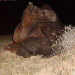 صور عملية ولادة ا لجمل15