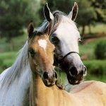 خيول8