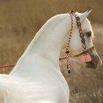 خيول9