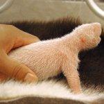 طور نمو حيوان الباندا بالصور.1
