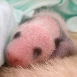 طور نمو حيوان الباندا بالصور.2