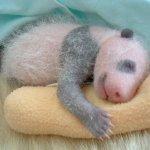 طور نمو حيوان الباندا بالصور.3