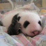 طور نمو حيوان الباندا بالصور.4