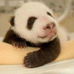 طور نمو حيوان الباندا بالصور.5