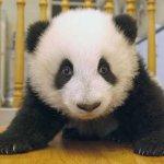 طور نمو حيوان الباندا بالصور.6