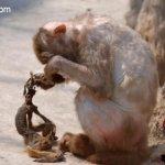 القرده :مات وليدها بين يديها 3