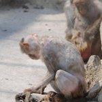 القرده :مات وليدها بين يديها 7