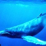 حقائق مذهلة عن الحوت الأزرق، 5