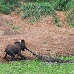 الفيل المسكين1