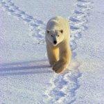 الدب القطبي Size:35.70 Kb Dim: 325 x 480