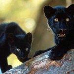 الفهد الأسود Size:46.9 Kb Dim: 673 x 460