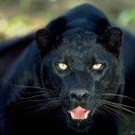النمر الأسود Size:47.8 Kb Dim: 800 x 600