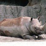 وحيد القرن Size:176.00 Kb Dim: 800 x 600