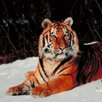 نمر Size:106.60 Kb Dim: 800 x 600