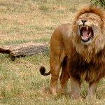 Lion Size:80.60 Kb Dim: 500 x 411