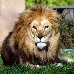 Lion Size:68.5 Kb Dim: 600 x 491