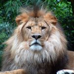 Lion Size:72.20 Kb Dim: 640 x 480